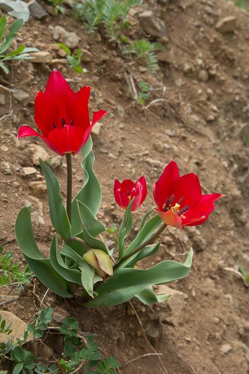 Tulipa 5