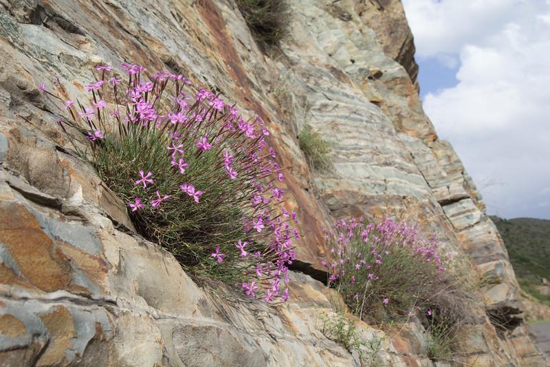 Dianthus spec
