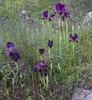 Iris paradoxa ssp paradoxa
