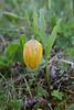 Fritillaria collina