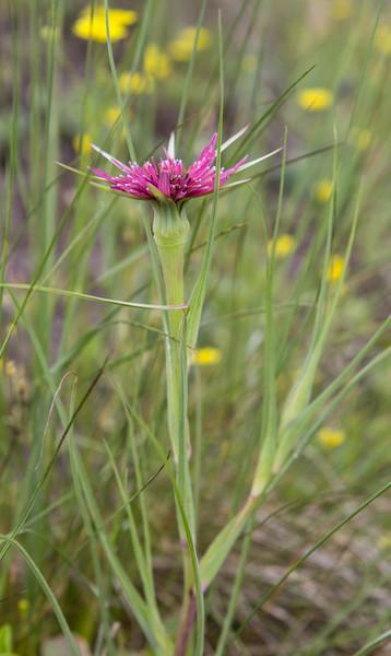 Tragopogon colorantus