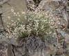 Silene armena ssp armena