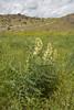 Astragalus galegiformis