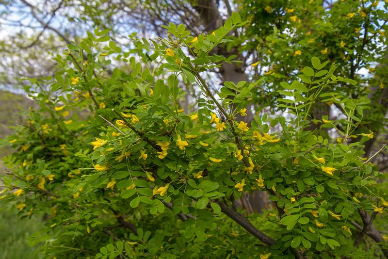 Caragana grandiflora