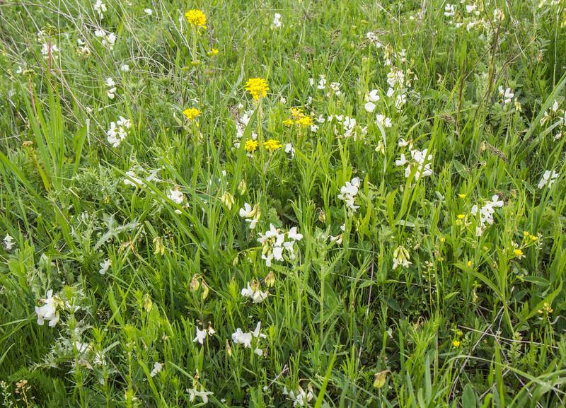 Vicia or Lathyrus spec ?