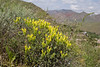 Scutellaria orientalis