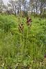 Verbascum phoeniceum