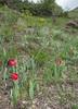 Tulipa julia