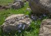 Scilla rosenii