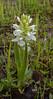 Dactylorhiza umbrosa forma Alba