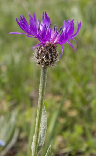 Centaurea cf mathiolifolia