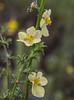 Celsia orientalis