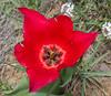 Tulipa confusa