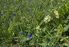 Orchis flavescens and Muscari armeniacum