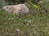 Ornithogalum gabrielianae and Muscari comosum