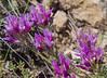 Astragalus cancellatus