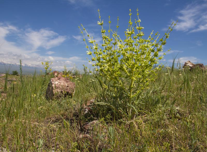 Salvia cf ceratophylla
