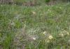 Pulsatilla albana ssp albana forma flavescens