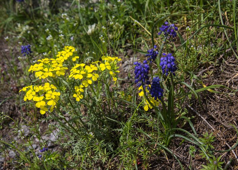 Erysimum spec and Muscari armeniacum