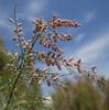 Tamarix cf gracilis