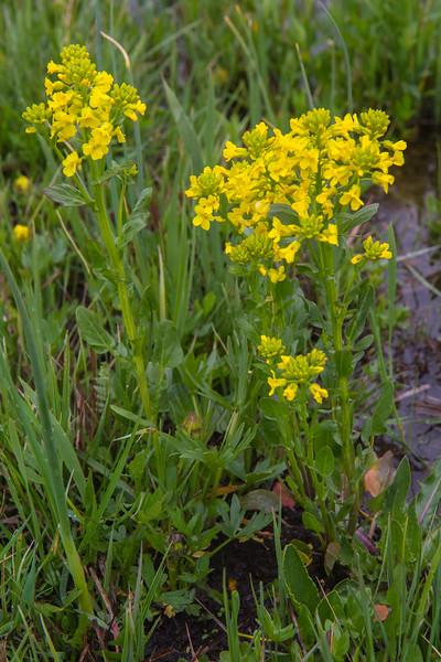 Barbarea vulgaris ssp minor