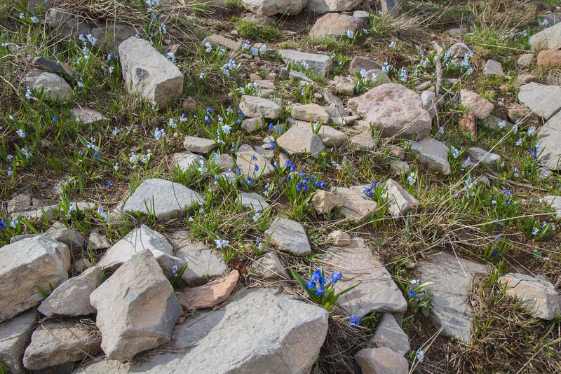 Puschkinia scilloides and Scilla armena