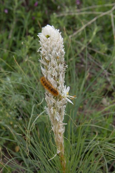 Asphodeline taurica