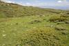Juniperus communis ssp alpina