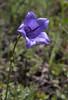Symphiandra armena