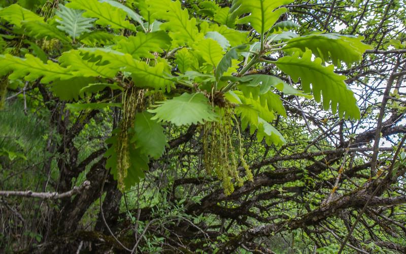 Quercus petrea ssp pinnatiloba
