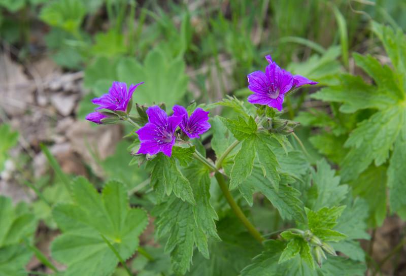 Geranium cf ibericum