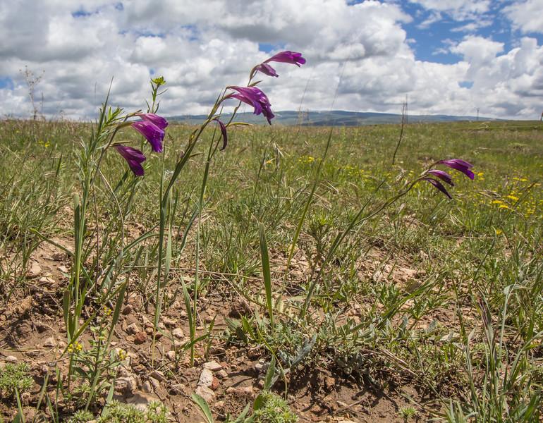 Gladiolus atroviolaceus