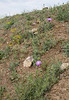Amberboa moschata