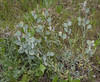 Fibigia macrocarpa