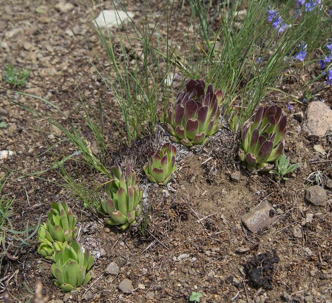 Sempervivum globiferum