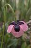 Papaver roseolum