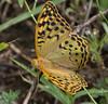 Argynnis parhia ssp paphia