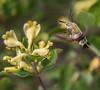 Hemaris fuciformis on Lonicera cf caucasica