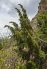 Juniperus spec