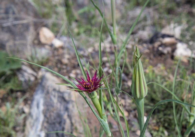 Trogopogon coloratus