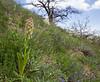 Orchis adenocheila