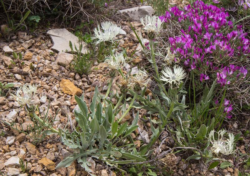 Centaurea cheiranthifolia and Onobrychis cornuta