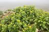Scrophularia chrysantha