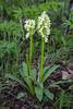 Dactylorhiza flavescens