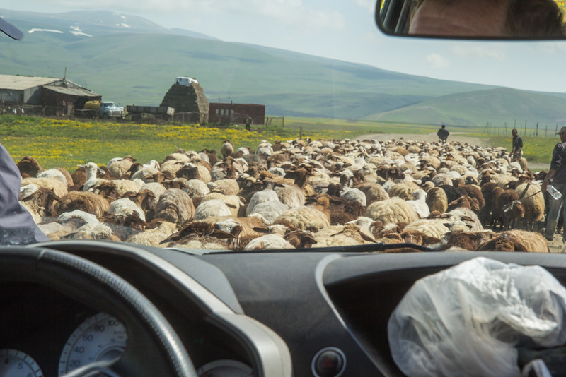 moving flocks of sheep to higher pastures