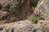 Campanula cf bayerniana
