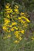 Hypericum cf hyssopifolium ssp elongatum