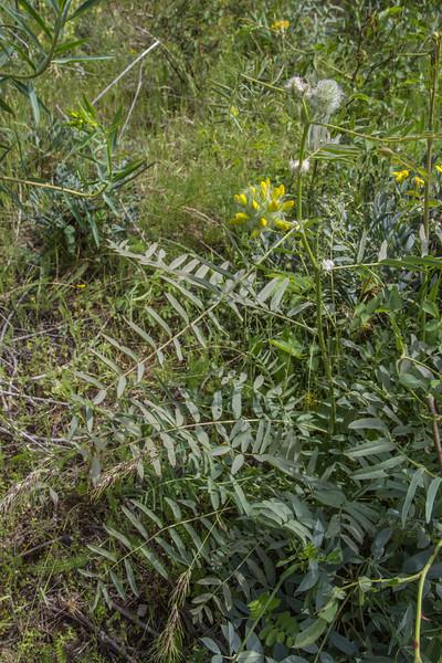 Astragalus cf macrocephalus
