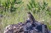 Miliaria calandra