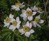 Anemone fasciculata
